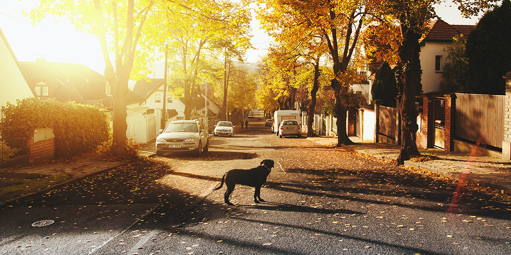 Suburb many Americans are moving to. Gold sunset with a dog in the middle of the street with houses on either side.