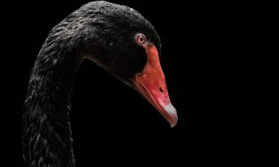 sequoia black swan