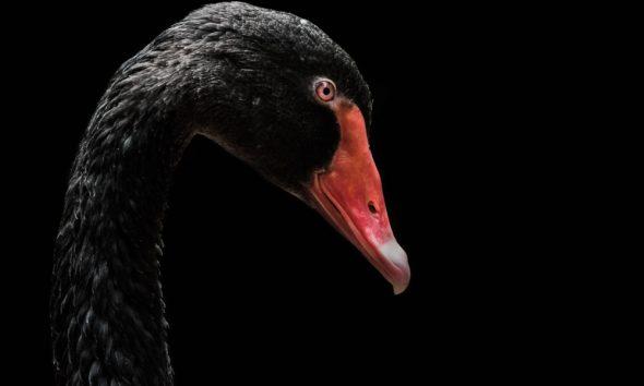 sequoia black swan