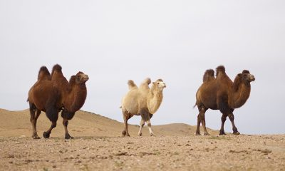 Camels walking in desert, not the best business model.