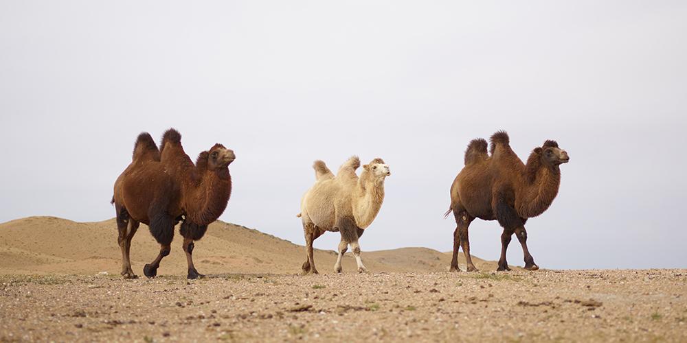 Camels walking in desert, not the best business model.